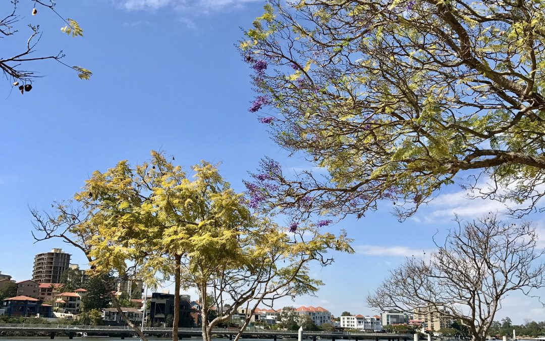 The first Jacaranda flowers of Spring