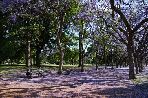 Brisbane Jacaranda blooming