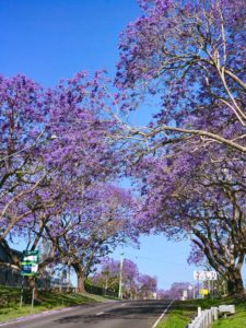 Ipswich Jacaranda trees