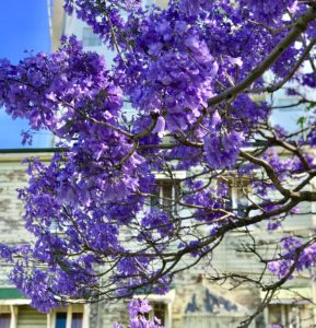 Where to see Jacarandas in Ipswich