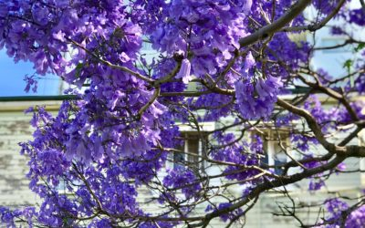 Where to find Jacaranda blooms in Ipswich