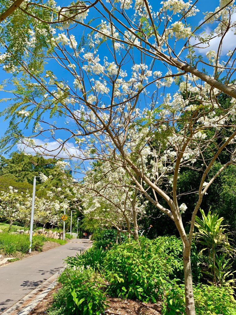 Where to see white jacarandas in Brisbane