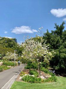 White Jacaranda Ave Brisbane