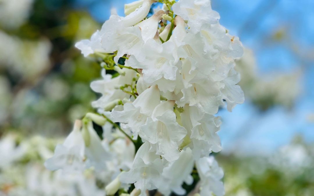 Where to see a white Jacaranda in Brisbane